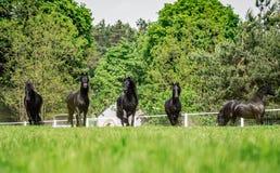 Galoppierende Herde von friesischen Stuten stockfotografie