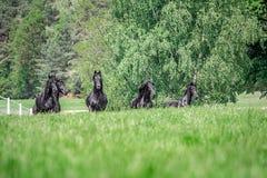 Galoppierende Herde von friesischen Stuten stockbilder