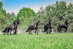 Galoppierende Herde von friesischen Stuten stockbild