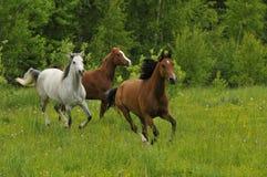 Galoppierende Pferde auf Wiese am Sommer Lizenzfreie Stockfotos