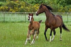 Galoppierende Pferdenfamilie stockbilder