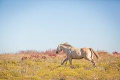 Galoppierendes Pferd Lizenzfreie Stockfotos
