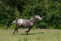 galopping häst Fotografering för Bildbyråer