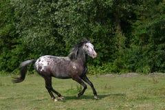 galopping häst Arkivfoton