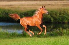 Galoppo arabo del cavallo della castagna in estate Fotografia Stock Libera da Diritti