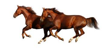 Galoppo dei cavalli di Budenny Immagini Stock