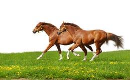 Galoppo dei foals dell'acetosa Immagine Stock