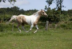 Galoppo del cavallo del palomino Immagine Stock