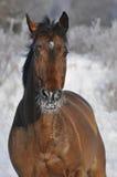 Galoppo di esecuzione del cavallo di baia in inverno Fotografia Stock