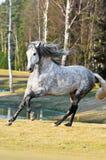 Galoppo di esecuzioni del cavallo bianco sul prato Fotografia Stock