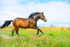 Galoppo di esecuzioni del cavallo di baia sul prato dei fiori fotografie stock