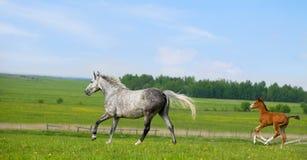 Galoppo di esecuzioni del foal e della cavalla in pascolo Fotografia Stock Libera da Diritti