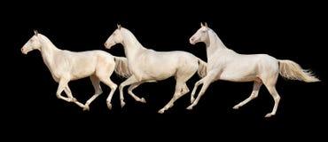 Galoppo di funzionamento dei cavalli isolato Fotografie Stock Libere da Diritti