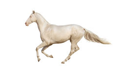 Galoppo di funzionamento del cavallo su fondo bianco Fotografia Stock Libera da Diritti