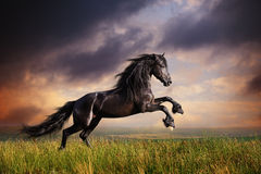 Galoppo frisone nero del cavallo Immagini Stock