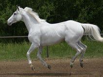 Galoppo leggero del cavallo bianco Fotografie Stock