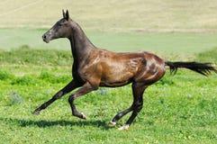 Galoppo nero di esecuzione dello stallion del akhal-teke Fotografie Stock