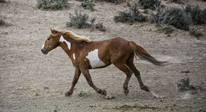 Galops de cheval sauvage de lavabo de sable photo stock
