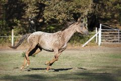 Galopujący Appaloosa koń w łące obraz stock