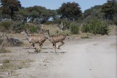 Galopujący Żeńscy Wielcy kudu obraz stock