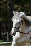 galopujący konia Obraz Royalty Free