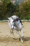 galopujący konia Fotografia Royalty Free