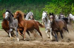 Galopujący Arabscy konie Fotografia Stock