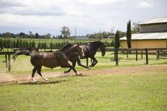 galopujący konie Obraz Stock