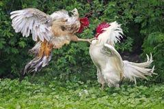 Galos brancos e luta vermelha na exploração agrícola foto de stock