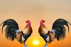 Galos gêmeos no nascer do sol fotos de stock