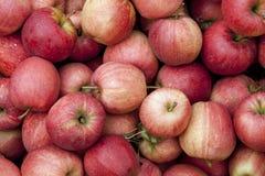 Galowi jabłka Fotografia Royalty Free