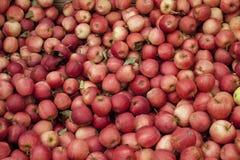 Galowi jabłka Zdjęcia Royalty Free