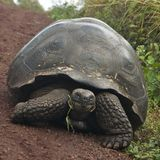 Galápagos Giant Tortoise in Santa Cruz Island Stock Photography