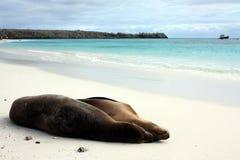 Galápagos sea lion Royalty Free Stock Photos