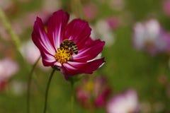 Galsang blomma Royaltyfria Bilder