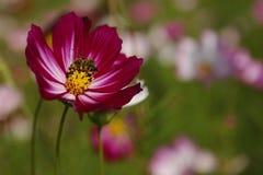Galsang blomma Arkivfoton
