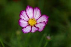 Galsang blomma Royaltyfri Bild