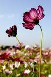Galsang blomma Arkivfoto