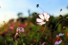 Galsang blomma Arkivbilder