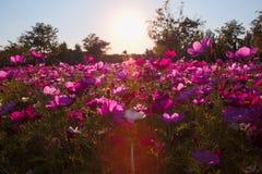 Galsang blommafält i solnedgång royaltyfri fotografi