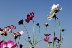Galsang-Blume Stockfoto
