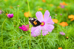 Galsang flower with butterfly Stock Photos