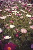 Galsang kwiat fotografia stock