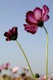 Galsang kwiat Zdjęcie Stock