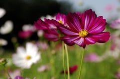 Galsang kwiat Fotografia Royalty Free