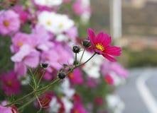 Galsang kwiat Obraz Royalty Free