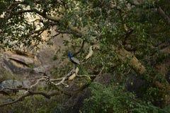 Galta Индия павлины стоковое изображение rf