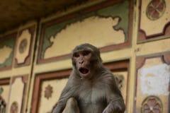Galta India Scimmia Fotografia Stock