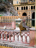 Galta Ji Mandir Temple, India. Monkey in Galta Ji Mandir Temple near Jaipur, India Stock Images