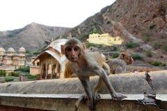 Galtaji apatemplet jaipur Rajasthan india Arkivbilder